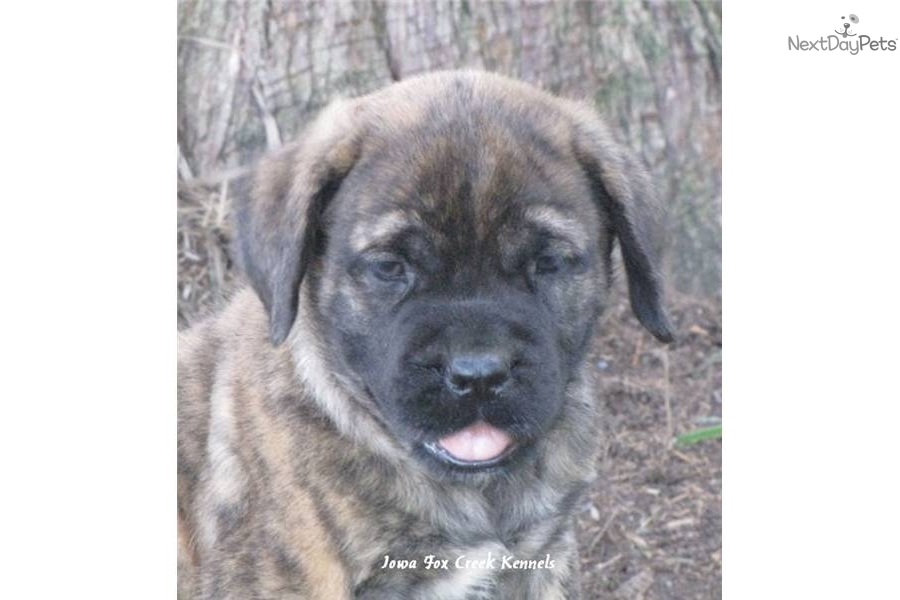 Pin Brindle English Mastiff on Pinterest