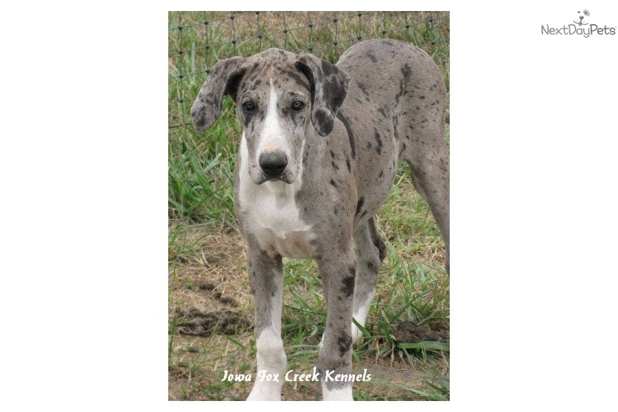 The gallery for --> Blue Mantle Great Dane Blue Mantle Great Dane