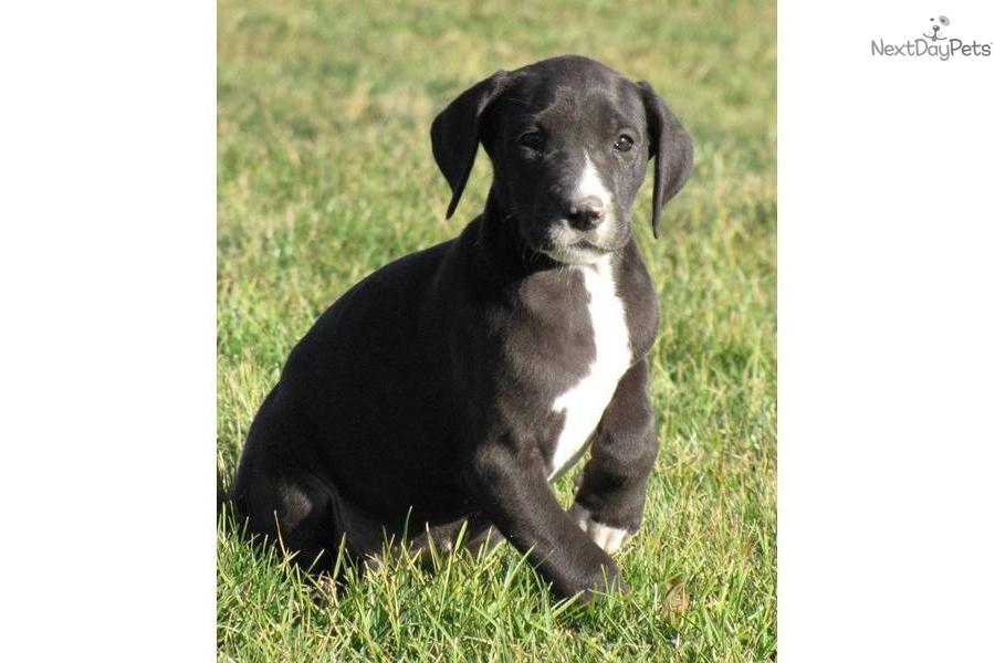Great Dane puppy for sale near Kirksville, Missouri ...