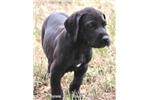 Picture of Chekhov-Big AKC Black Male Great Dane Puppy