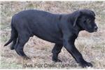 Picture of Pluto - AKC Black Male Great Dane Puppy