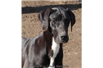 Picture of Sarge-Blue Merle Mantle Male Great Dane Pup