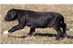 Picture of Eli-AKC Black Mismarked Mantle Male Great Dane Pup