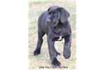 Picture of Pirate-AKC Black Male Great Dane Puppy