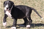 Picture of Ella-Black Mismarked Mantle Female Great Dane Pup