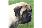 Picture of Gunner-Big AKC Fawn Male English Mastiff Male Pup