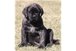 Picture of Bandit-AKC Black Brindle Male English Mastiff Pup