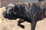 Picture of Brandy-AKC Brindle Male English Mastiff Pup