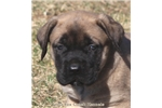 Picture of Zsa Zsa-Huge AKC Fawn Female English Mastiff Puppy