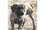 Picture of Bella-AKC Black Brindle Male English Mastiff Pup