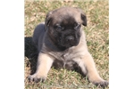 Picture of Zeus-Huge AKC Fawn Male English Mastiff Puppy