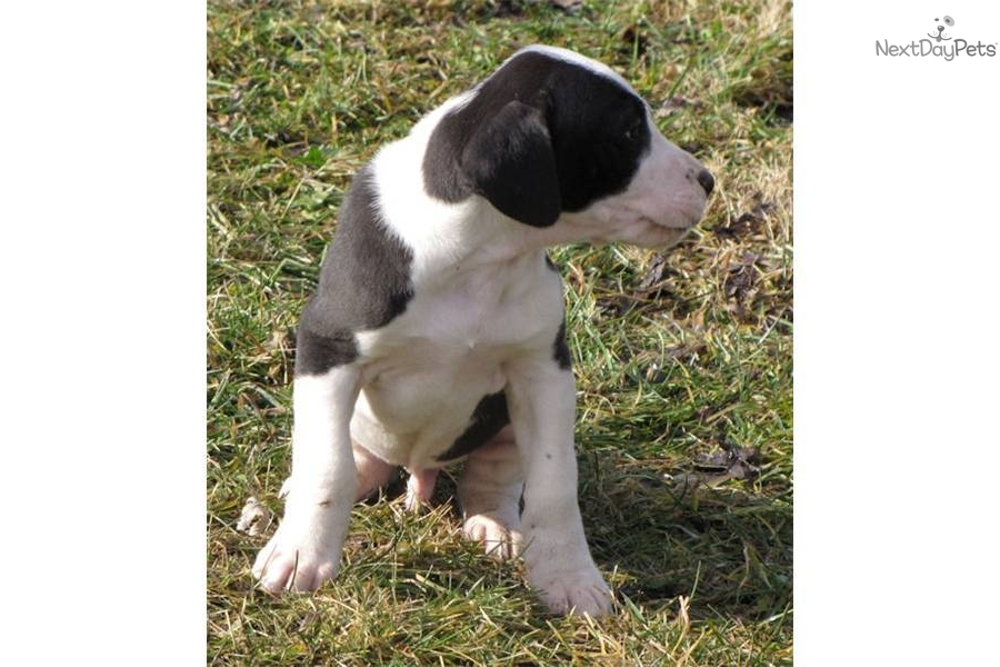 The gallery for --> White Great Dane Dog
