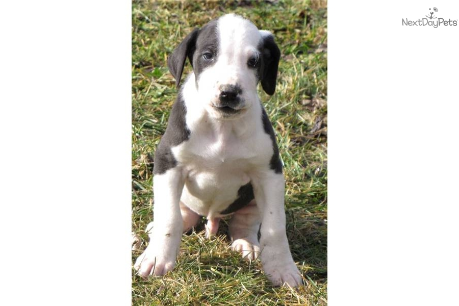 Uno-AKC Black & White Male Great Dane Puppy | Great Dane ...