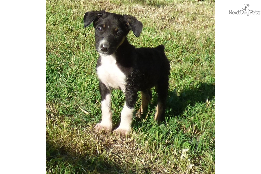 Mcnab puppies for sale in california
