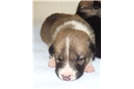 SOLD ~ Purebred McNab Sable male puppy  | Puppy at 7 weeks of age for sale