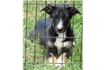 Picture of Purebred McNab Tri-colored male ~ Ready to go now