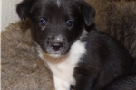 Purebred McNab Black/White female puppy  | Puppy at 7 weeks of age for sale