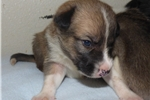 Picture of Purebred McNab Sable male puppy
