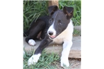 Picture of Purebred McNab Black/White female puppy