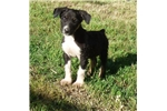 Purebred McNab Tri-colored male ~ Ready now | Puppy at 13 weeks of age for sale