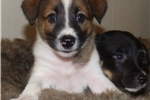 Purebred McNab Sable colored male puppy  | Puppy at 7 weeks of age for sale