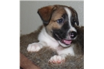 Picture of Purebred McNab Sable colored male puppy