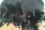 Belgian Sheepdog for sale