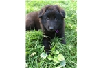 Picture of Adorable Belgian Sheepdog puppy!