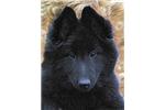 Belgian Sheepdogs for sale