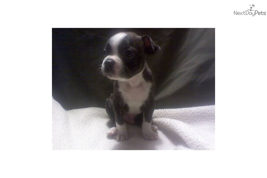 Brodrick a cute Boston Terrier puppy for sale for $450. AKC BOSTON ...