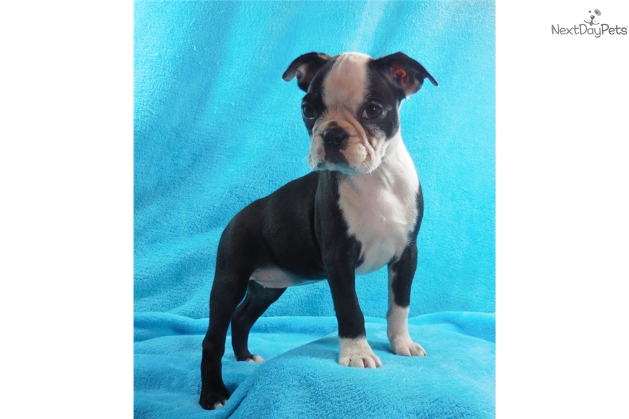 Boston Terrier puppy for sale near Knoxville, Tennessee | d0c3cb81 ...