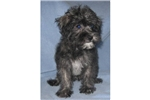Picture of an Affenpinscher Puppy