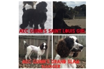 Picture of AKC Champion Lines! Partis! $200 shipping
