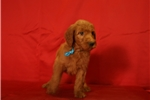 Picture of F1 Goldendoodle puppies 9 weeks old