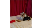 Picture of Teacup Yorkshire Terrier Male