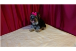 Picture of Teacup Yorkshire Terrier Female
