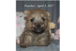 Picture of Peaches - Akc