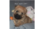 Picture of Pixie - Akc