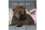 Picture of Sophia - Akc