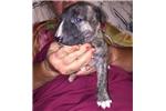Picture of Javarke Pups International Champion Bloodline! #1