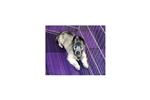 Picture of AKC Skye Terrier Puppy-Champion Bloodlines