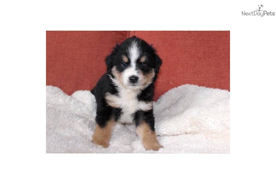 Miniature australian shepherd puppy for sale near portland oregon