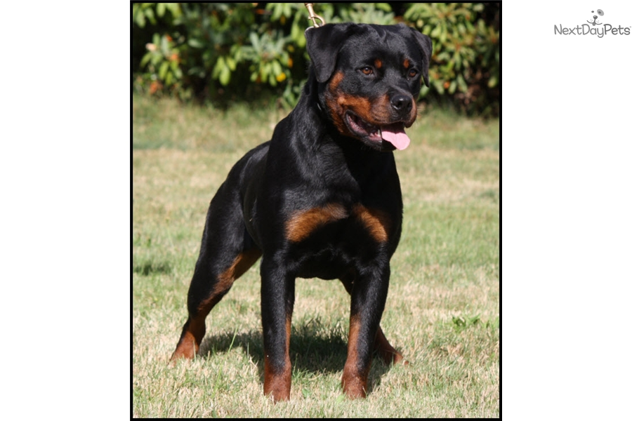 Rottweiler Puppies For Sale Washington State