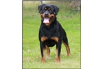 Rottweilers for sale