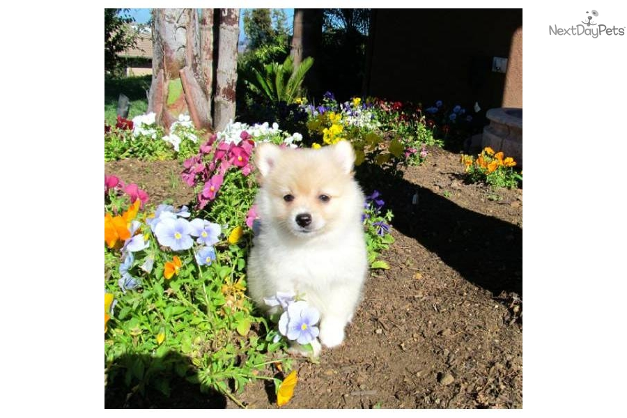 Pomeranian Puppy Female Pomeranian Puppy For Sale In San Diego Ca