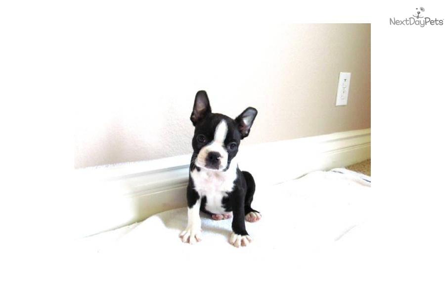 Featured Boston Terrier Rescue: Boston Buddies - Southern ...