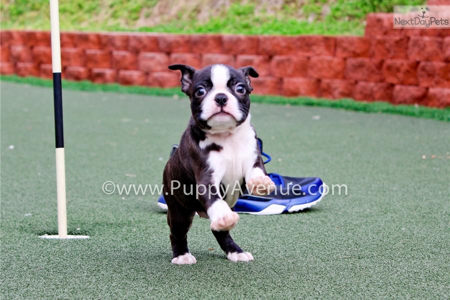 - California Boston Terrier Rescue - ADOPTIONS - Rescue Me!