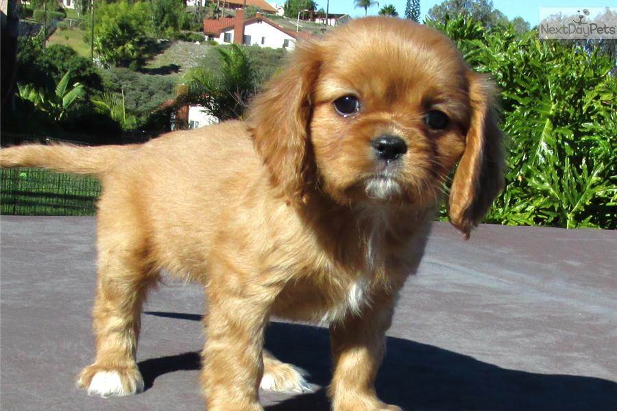 how to potty train a cavalier king charles spaniel puppy