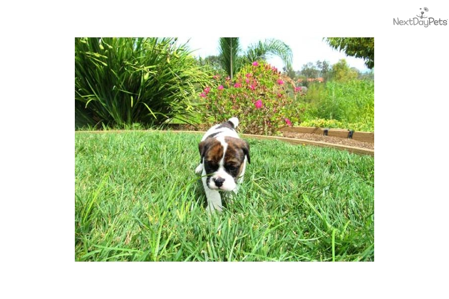 Puppy In San Diego Is A French Bulldog Puppy For Sale In San Diego Ca