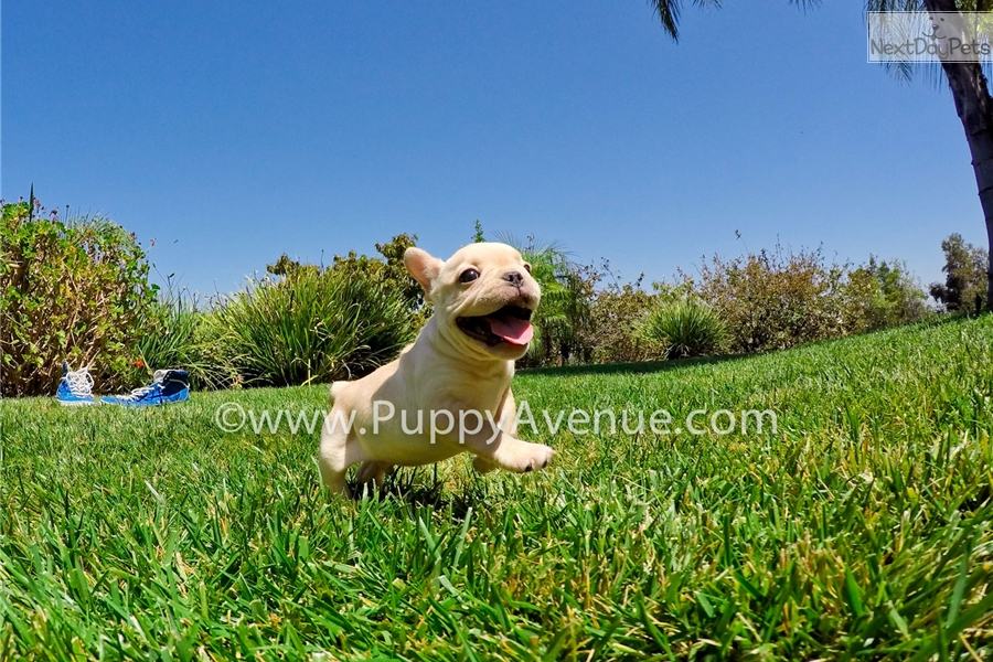 Cream Colored French Bull Dog Sale California